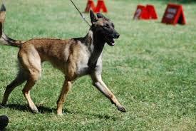 belgian shepherd x greyhound belgianmalinois explore belgianmalinois on deviantart