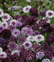 bachelor buttons bachelor s button seeds 8 cornflowers annual flower seeds