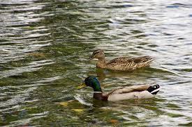 duckhobby com u2013 page 3 u2013 beginner u0027s guide to raising backyard ducks