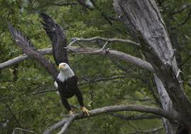 vermont sees modern day record for bald eagle births experts