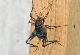 What Are These Tiny Bugs In My Bathroom Spider Crickets The Bugs You Don U0027t Want In Your House This Fall