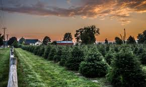 christmas tree farms in and near grand rapids metro parent
