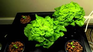 tom u0027s thumb lettuce indoor kratky hydroponic gardening with led