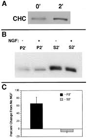 ngf signals through trka to increase clathrin at the plasma