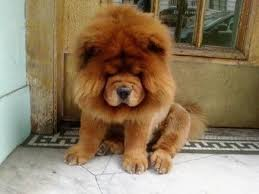 lion dogs top 10 dogs that look like lions lions dog and tigers