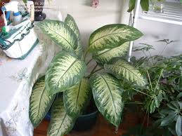 extraordinary house plants with big leaves indoor gardening and