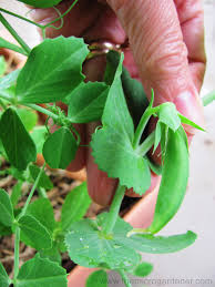 easy guide to growing perfect peas the micro gardener