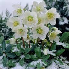helleborus niger white hellebore pack of twelve plants