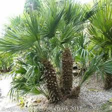 mediterranean fan palm tree chamaerops humilis from palm centre