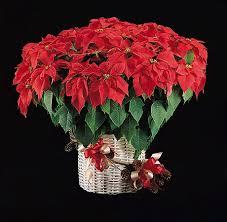 Christmas Flowers Poinsettia The Christmas Flower