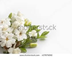 gardenia flowers stock images royalty free images u0026 vectors