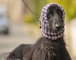 afghan hound therapy dog afghan hound ari becomes fashion hit with tartan snood daily