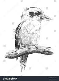 hand drawn sketch australian kingfisher laughing stock