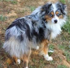 australian shepherd vs husky 106 best puppies images on pinterest animals australian