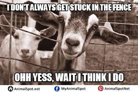 Clean Animal Memes - goat memes