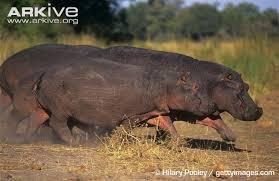 hippopotamus si鑒e social hippopotamus si鑒e social 28 images hippopotamus snap facts