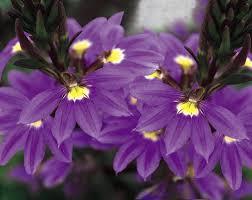 australian native plants with purple flowers new wonder fan flower scaevola aemula proven winners
