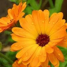calendula flowers calendula co2 total extract