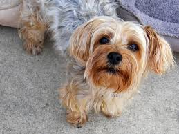 types of yorkie haircuts pictures a guide to yorkie grooming hairstyles canna pet