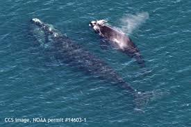 first 2016 right whale calf spotted in cape cod bay center for