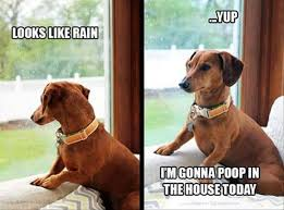 Dachshund Meme - 12 hilarious dachshund memes will make your day