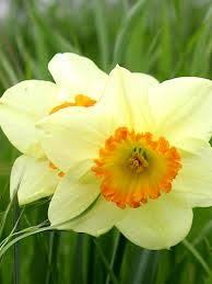 wholesale white daffodils bulk daffodil bulbs 211 for 500 bulbs
