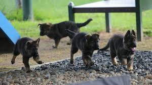 belgian shepherd qld photos sick kids to name the latest litter of police pups st