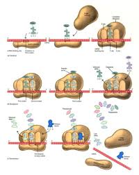 Protein Synthesis Steps Protein Synthesis