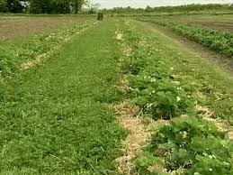 cover crops between plastic from vegetable farmers and their