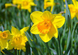 how well would a plant grow under pure yellow light daffodils how to plant grow and care for daffodil flowers the