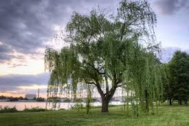 willow trees in dc