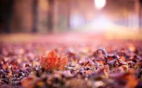 macro leaves fall autumn tree nature wallpaper 1680x1050 30925