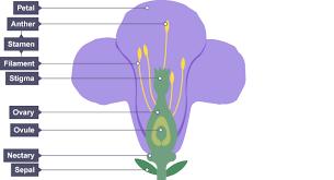 Reproduction In Flowering Plants - bbc bitesize ks3 biology plant reproduction revision 1