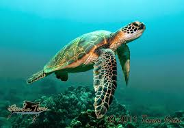 best of nature why do sea turtles cry when they lay their eggs