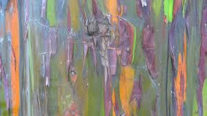 rainbow eucalyptus tree costa rica youtube