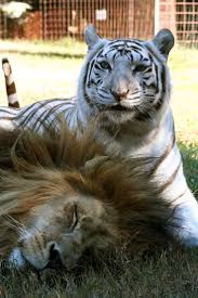 186 best big cat rescue tampa images on pinterest big cat