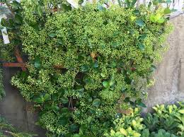 manhattan euonymus on a trellis to create an evergreen hedge