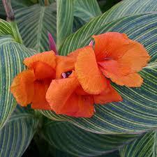Canna Lily Plants For Ponds U0026 Water Gardens Orange Variegated Canna Lily Bog