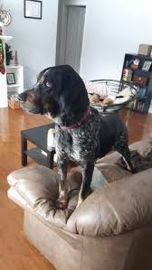 bluetick coonhound youtube check out harper u0027s profile on allpaws com and help her get adopted