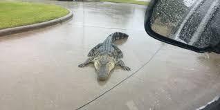 halloween city beaumont tx harvey flooding could let 350 alligators escape gator farm