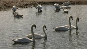 bbc earth the truth about swans