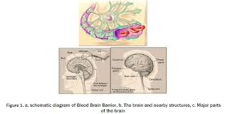 Blood Brain Barrier Anatomy A Review On Drug Molecules Targeting To Brain Open Access Journals