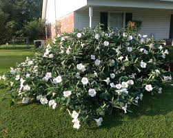 moon flowers moon flower louisiana blooms