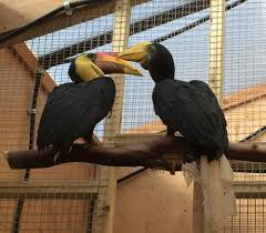 wrinkled hornbills meet their match at the zoo