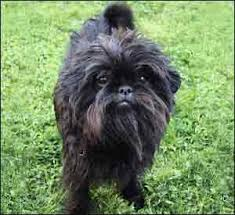 affenpinscher animal planet search results shih