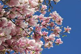 magnolia flowers free images branch flower petal produce cherry blossom