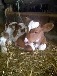 baby cow is sooooooooooooo cute