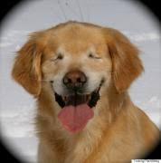 Blind Great Dane Blindness In Pets Animal Medical Center New York City
