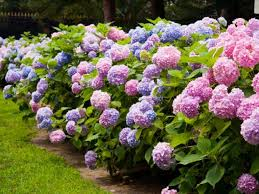 hydrangeas flowers pruning hydrangeas diy