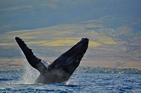 maui whale watching see humpbacks aboard quicksilver
